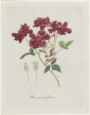 Chińska Róża, Hendrik Schwegman, 1793r.  - wf120