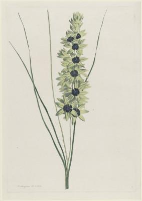 Irys Afrykański, Hendrik Schwegman, 1793r.  - wf121