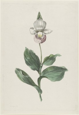 Orchidee, Hendrik Schwegman, 1793r.  - wf122