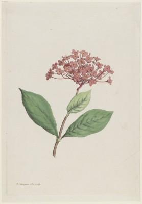 Iksona Szkarlatna,Hendrik Schwegman, 1793r.  - wf123