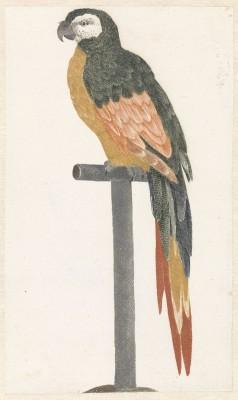 Papuga,Johan Teyler, rok 1658 - wf128