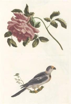 Ptak i Róża, autor nieznany, 1688-1698r.  - wf133