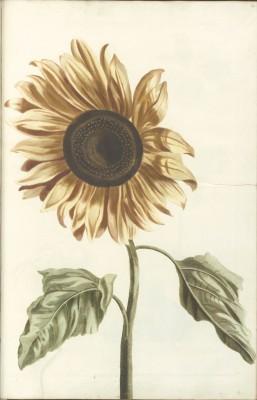 Słonecznik - wf136