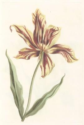 Tulipan, autor nieznany,  1688-1698r. - wf137