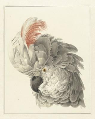 Papuga - wf171
