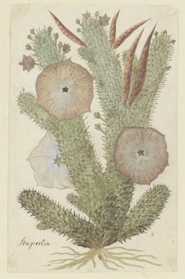 Kaktus - wf177