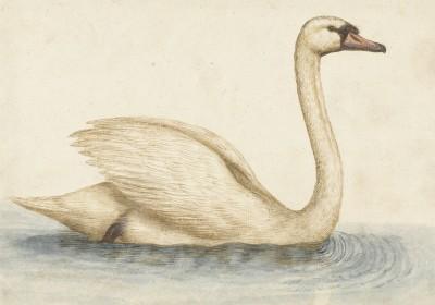 Łabędź - wf188