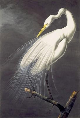 Czapla Biała - John James Audubon - wf1300