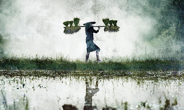 Uprawa Ryżu - wf1770
