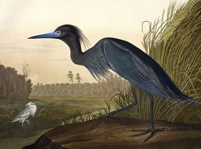 Reprodukcje Johna Jamesa Audubona - wf1334