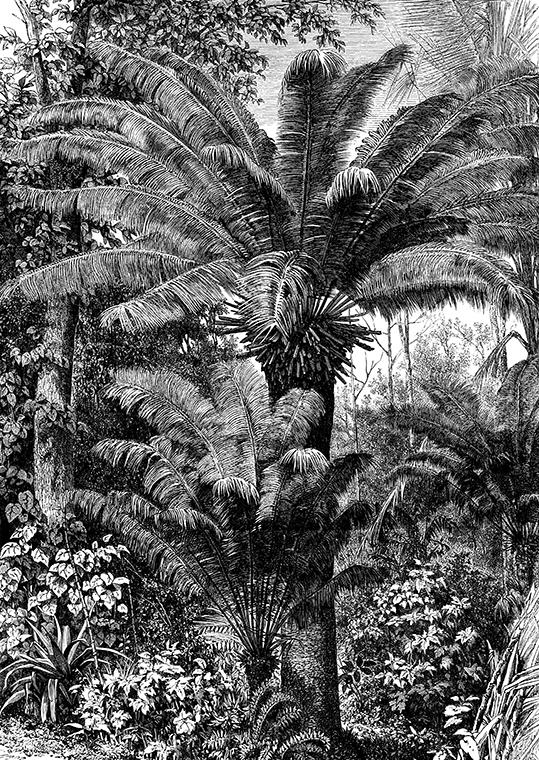 Palma Karłowata - wf1652