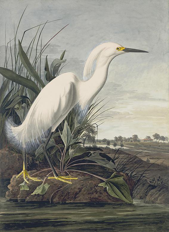 Czapla Śnieżna - John James Audubon - wf1301