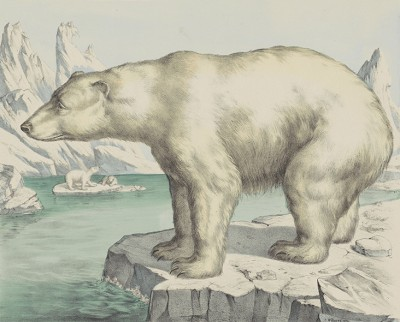 Niedźwiedź Polarny, Joseph Scholz, 1829 - 1880r. - wf983