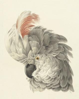 Kakadu, Aert Schouman, 1725 - 1792r. - wf984