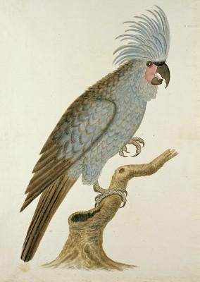 Kakadu, Robert Jacob Gordon (przypisany), w lub po ok. 1780r. - wf898