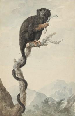Małpa, Jacob Perkois, 1776r. - wf839
