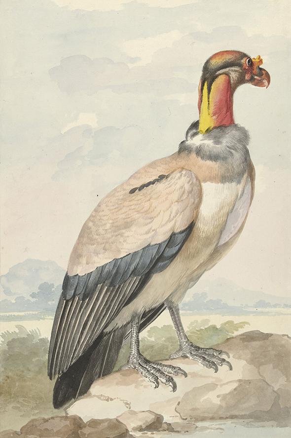 Sęp,  Aert Schouman, 1758r. - wf196
